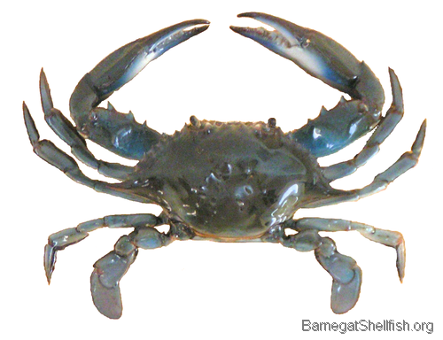 Blue crabs are opportunistic bottom-dwelling predators and will feed ...