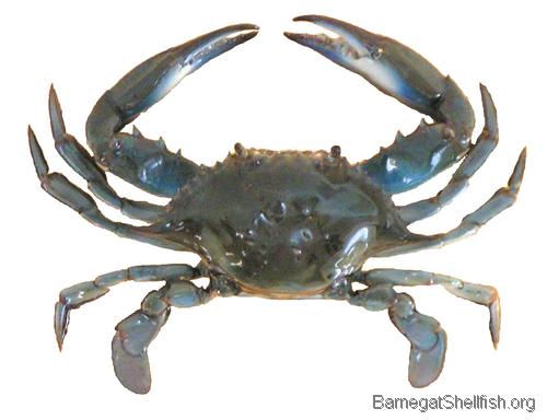Blue crab besira blue crab for Blue crab fishing