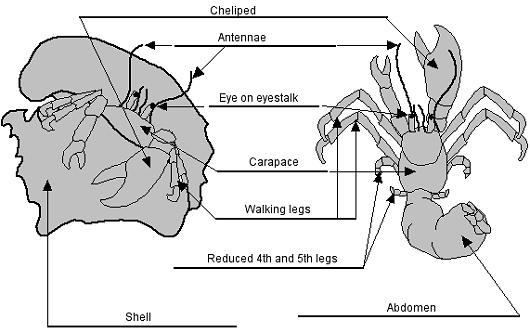Shellfish Information Crabs Barnegat Bay