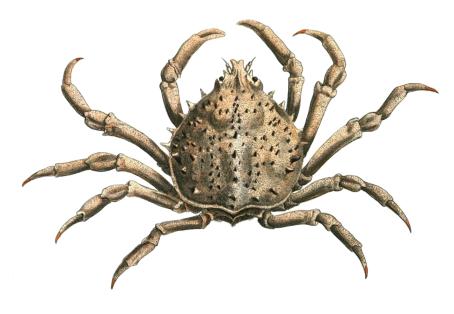 Spider crab - photo#17