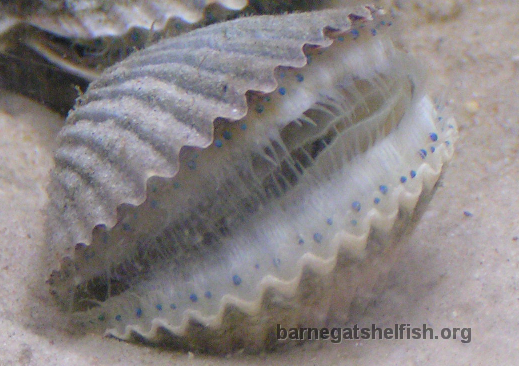 The blue-eyed scallop