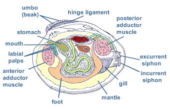 Hard clams - Barnegat Bay