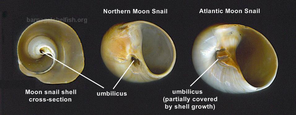 Shellfish Information Snails Barnegat Bay